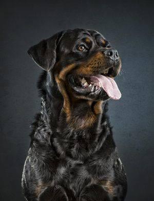 «Eminen de Bedia». Prop.: Rottweiler de Bedia.