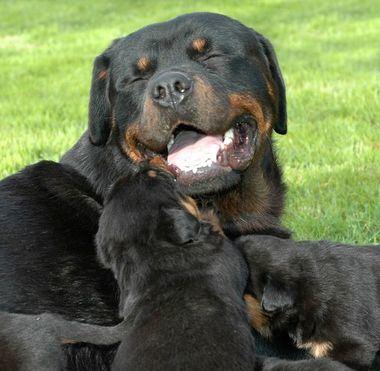 Ejemplar y cachorros de Rottweiler de Bedia.