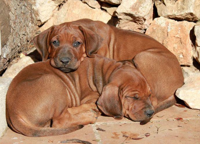 Cachorros de Molema Mua Rôo.