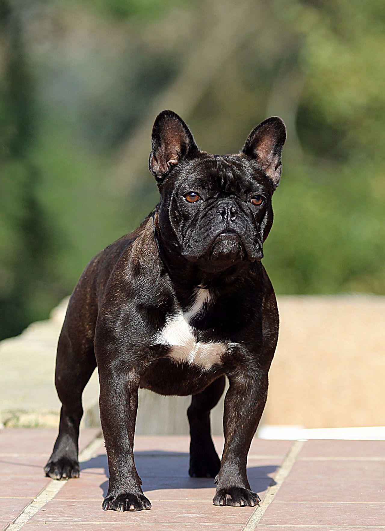 Resultado de imagen para bulldog frances