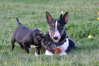 La cría y reproducción del Bull Terrier Miniatura
