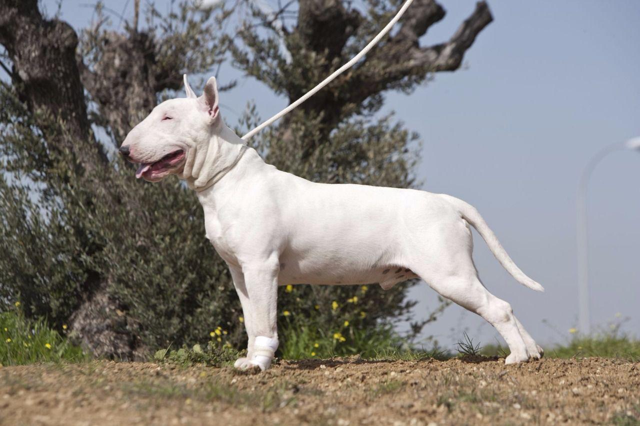 Carácter y comportamiento del Bull Terrier Estándar