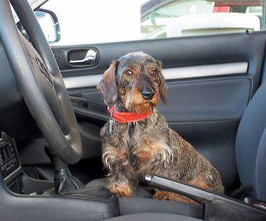 El transporte de animales dentro de un vehículo. Obligaciones impuestas por el Reglamento General de Circulación.