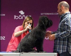 El corte del Perro de Aguas Español
