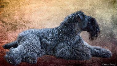 Leto Atreides de La Cadiera. Prop.: Maribel de Luna (La Cadiera Kerry Blue Terriers).