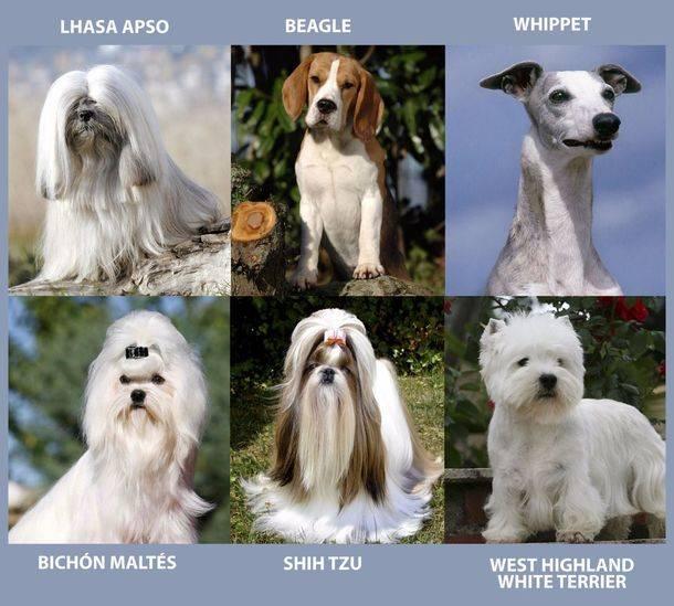 Lhasa Apso, Beagle, Whippet, Bich�n Malt�s, Shih Tzu y West Highland White Terrier