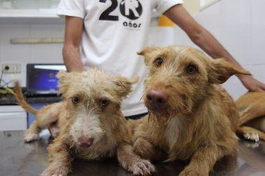 Anselmo y Trókolo, dos perros utilizados para la caza rescatados por El Refugio.
