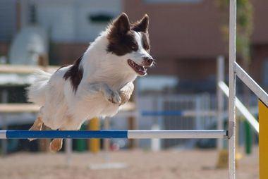 17 perros forman parte del equipo de la Real Sociedad Canina de España en el 21º Campeonato del Mundo de Agility de la Fédération Cynologique Internationale (FCI)