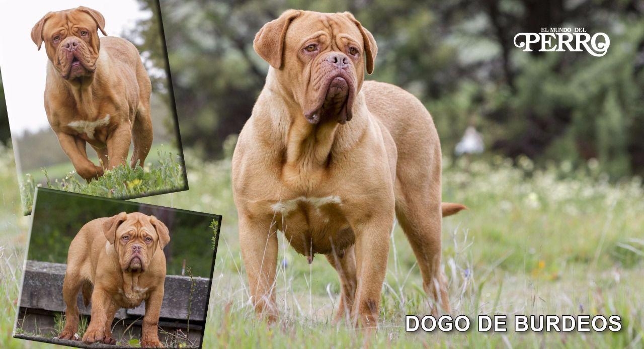Dogo de Burdeos: Carácter y temperamento