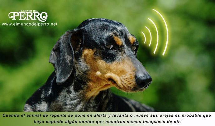 ¿Cuánto puede oír un perro?