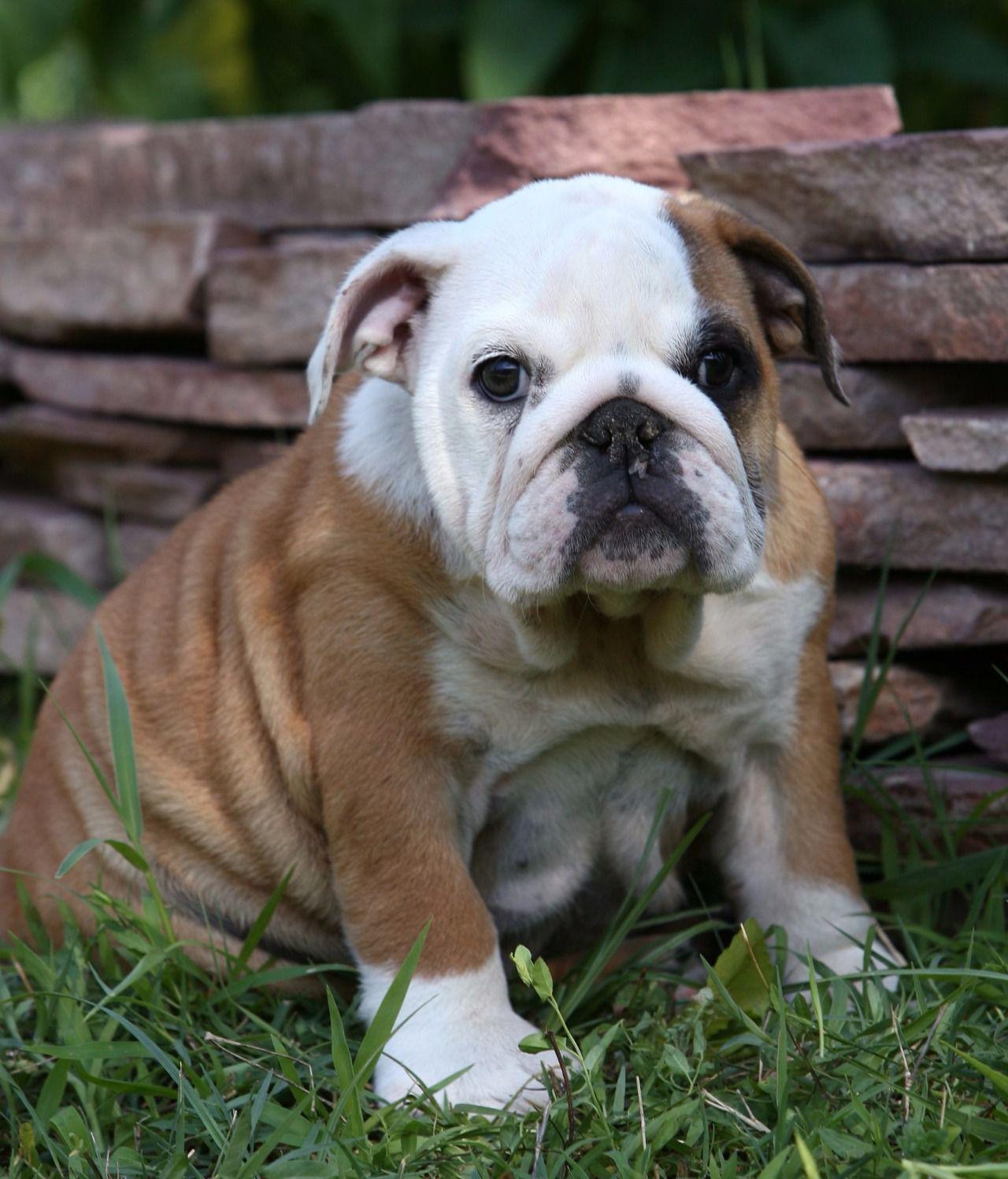 perro con infección ocular aguda