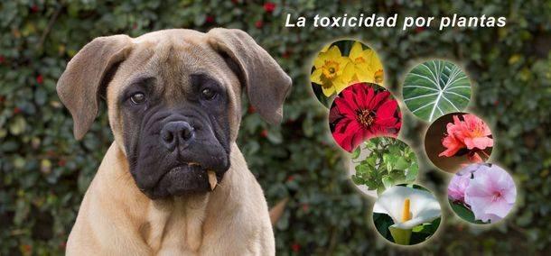 La toxicidad por plantas