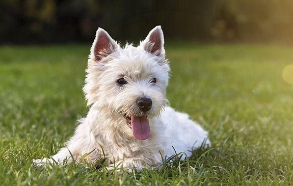 ¿Sabías que tu perro puede ser alérgico a los cereales?