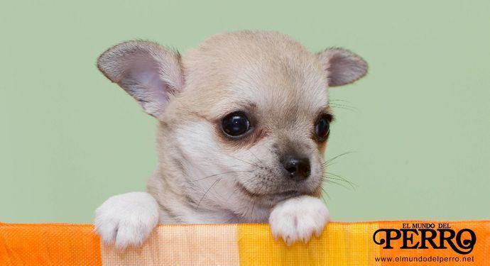 Moquillo canino
