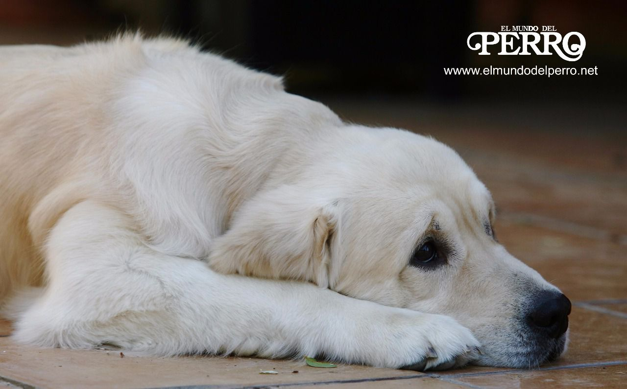 problemas de la próstata en perros