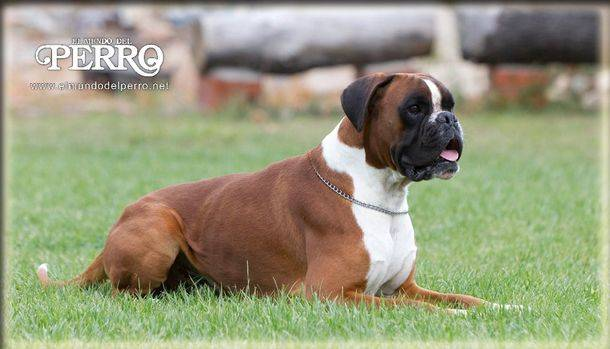 Dilatación-torsión de estómago. Una de las urgencias más graves que pueden presentarse en los perros.
