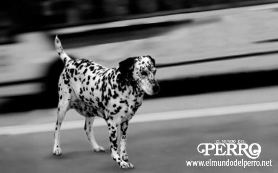 Fundación Affinity alerta que nadie rescata a los animales implicados en un accidente