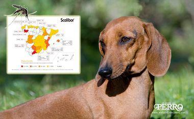 En España, aproximadamente 385.000 perros padecen leishmaniosis cada año