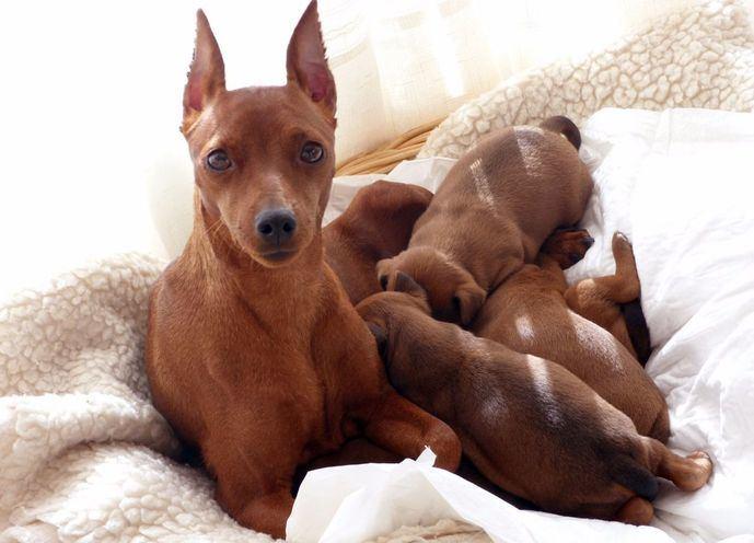 «Red Poison Katja» con sus cachorros. Prop. : Red Poison.