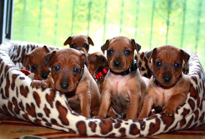 Cachorros del criadero Elite Kings.
