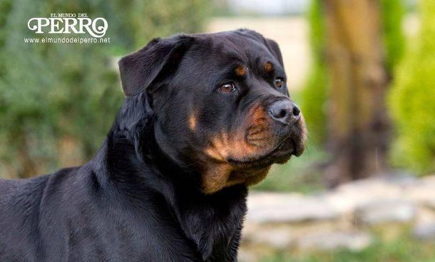 ¿Qué es un perro atópico?