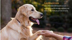Leptospirosis. Una enfermedad zoonótica re- emergente