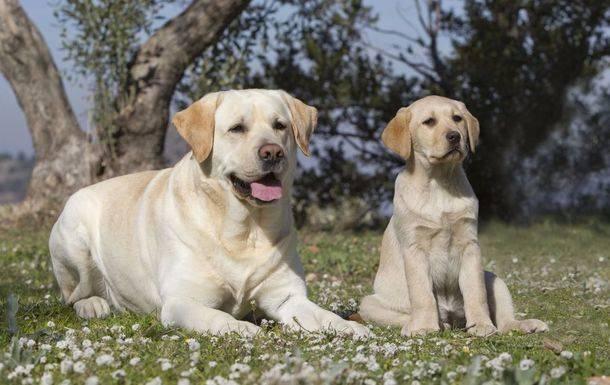 RAZA DEL MES Labrador Retriever