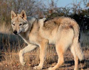 «Ira Von Der Wolfsscheifle». Prop.: Alberto Cepedano Cañón (Wolfdog Land).