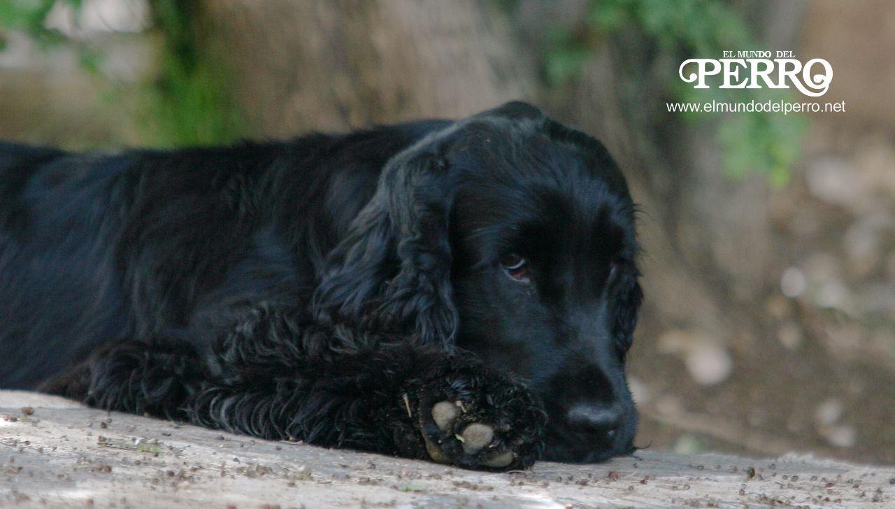 vejiga hinchada del perro