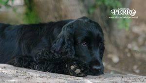 Enfermedades hepáticas en nuestros perros