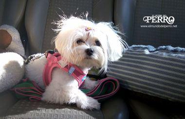 Mi perro ladra cuando viaja en coche