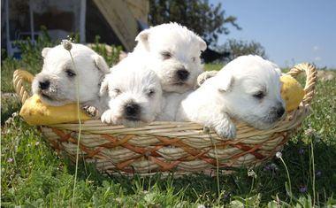 Cachorros del Afijo De Los Duendes Zahories