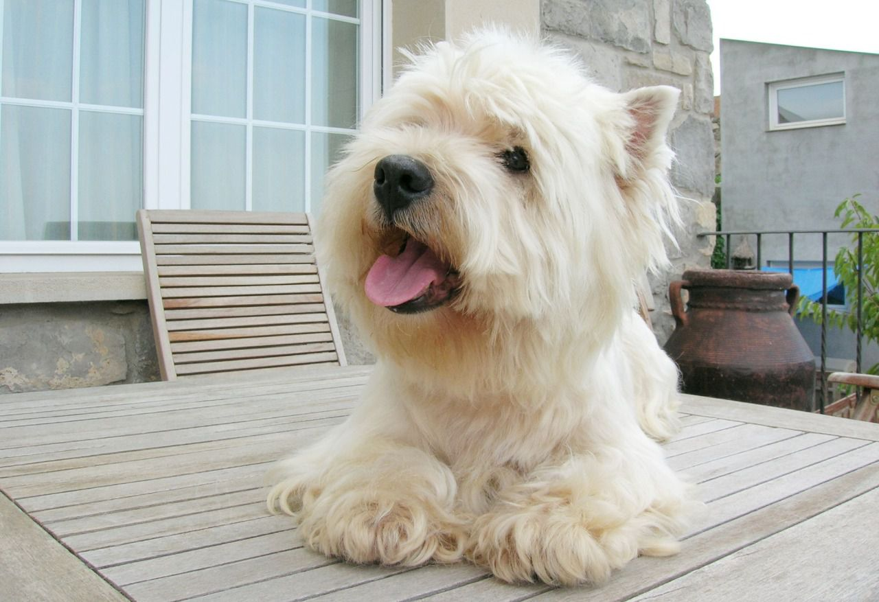 Descripción Del West Highland White Terrier Elmundodelperro Net
