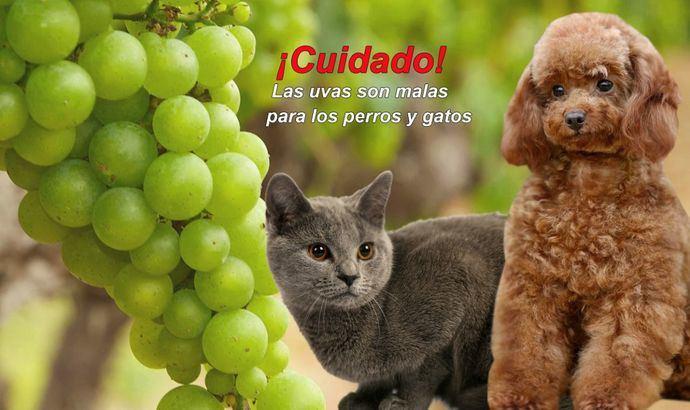 ¡Cuidado! Las uvas y uvas pasas son malas para los perros y gatos