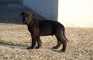 Cachorro Afijo de Los Tercios.