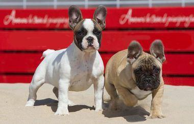 Consejos para cuidar a un cachorro de Bulldog Francés