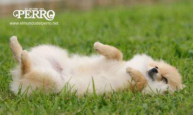 ¿Por qué se revuelcan los perros? Hay varias interpretaciones ante este acto