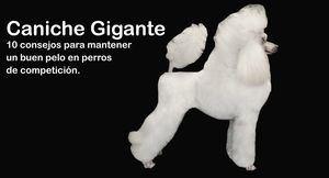 Caniche Gigante: 10 consejos para mantener un buen pelo en perros de competición.