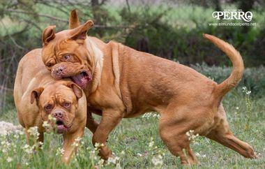 Peleas entre perros. Así podemos evitarlas