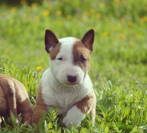 Ejemplar del Afijo Costa Cabana Bull - Bull Terrier Miniatura.