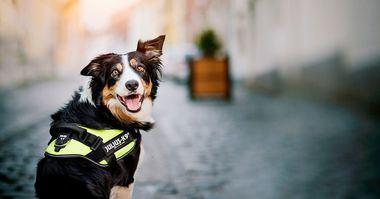 La historia del arnés para perros Tipos de arneses para perros y sus áreas de aplicación