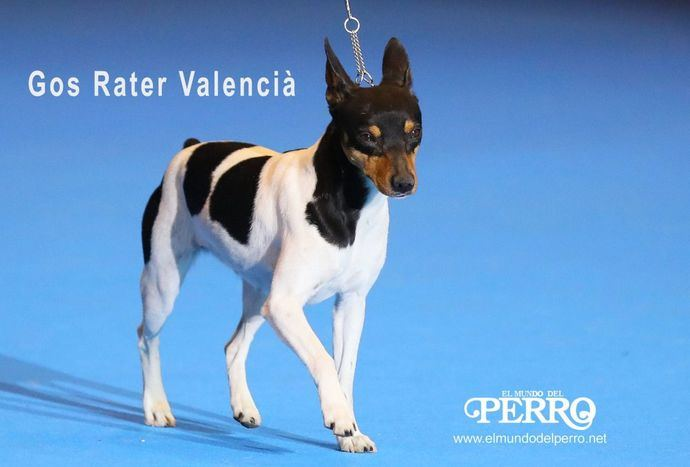 Gos Rater Valencià