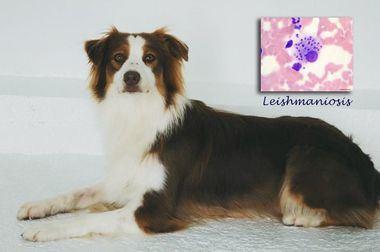 """'Shiva"""", la primera perra para la detección precoz de la leishmaniosis a nivel mundial, un Pastor Australiano"""