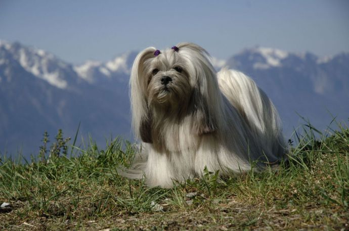 Lhasa Apso: la historia de un tibetano ilustre