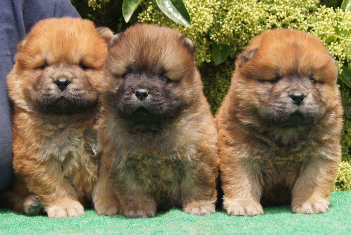 Cachorros del Afijo Los Perros De Bigo.