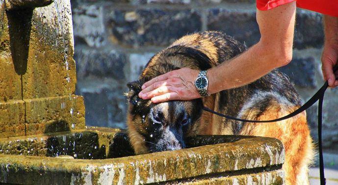 Consejos sobre cómo evitar un golpe de calor en perros