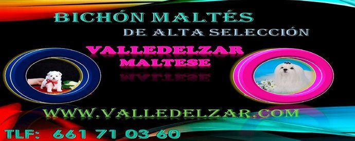 Bichón Maltés