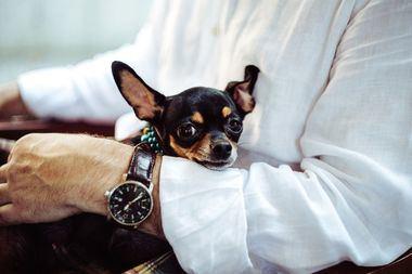 Los perros enanos más populares en las ciudades