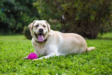 Uno de cada tres propietarios de perros no reconoce cuando su animal tiene sobrepeso, según un estudio de Purina