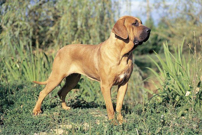 Fila Brasileño: historia de un perro del Nuevo Mundo